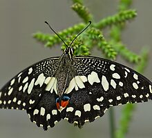 Lime Butterfly (papilio demoleus) by Beverley Goodwin