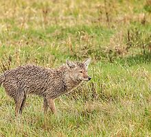 Coyote wet, wild and woolly by Owed to Nature