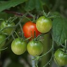 Sweet 100 Cherry Tomatoes by Linda  Makiej Photography