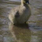 Duckling in York by Sarah Horsman