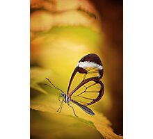 Glasswing Butterfly Photographic Print