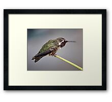 MALE HUMMINGBIRD ANNA'S CHEWING OUT A  YOUNGSTER Framed Print