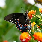 Colorful Black Swallowtail by autumnwind