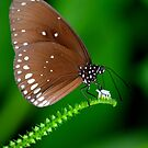 Amazing Brown Butterfly by Nicole W.