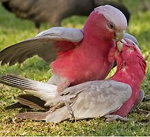 Galahs in Love by TheGreatContini