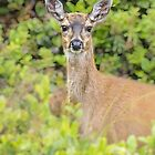 Sitka Black-Tailed Deer by Yukondick