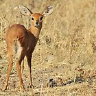 Steenbok - Shy and Elusive Beauty - Cute African Wildlife by LivingWild
