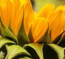 zonnebloem macro by stresskiller
