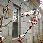 RADIANT FLOWERS - ROSS Tasmania by MrSnapHappy