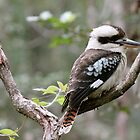 Blue winged kookaburra  by Margaret Stanton