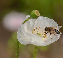 hoverfly on white poppy by stresskiller