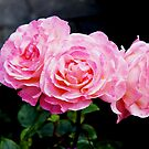 Rose Of Life by ChrissieXe