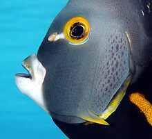 French Angelfish by AWLPIX