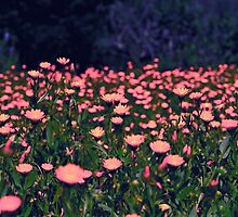 Pink Flowers by tommyflanagan