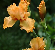 Pure Orange Iris by Debbie Oppermann