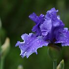 Solid Purple German Iris by Debbie Oppermann