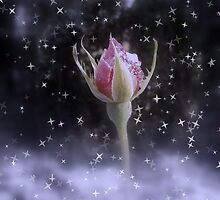 starry sparkling rosebud in the snow 3, tinted by Dawna Morton