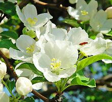 Spring Apple Blossoms by pjwuebker