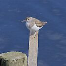 Sunbathing Sandpiper by dilouise