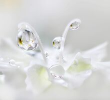 White on white by Lyn Evans
