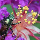 Japanese beetle by Sheryl Hopkins