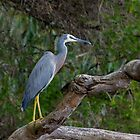 White Faced Heron at Gypsy Point by pcbermagui