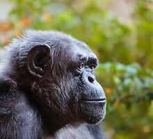 Chimpanzee - deep in thought! by Dave  Knowles