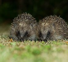 Hedgehog by David Barnes