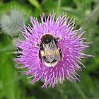 Bumble Bee On Thistle by MagsWilliamson