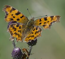 Comma Butterfly by Paul Spear