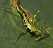 Young Assassin Bug by Otto Danby II