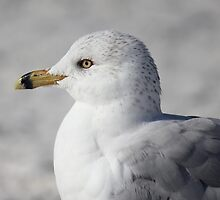 Seagull  by Sheryl Hopkins