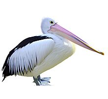 Pelican on white Photographic Print