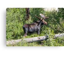 RMNP Bull Moose Canvas Print