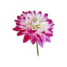 Dahlia Edged in Pink by Susan Savad