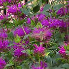 Hummingbird moth by dfrahm