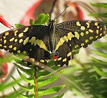 Swallowtail on Sword Fern by Lee Jones
