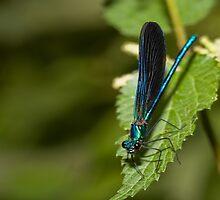 Dragonfly by PhotoBilbo
