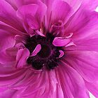 Hot Pink Anemone by kellym