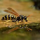 European Paper Wasp (Polistes dominula) - I by Peter Wiggerman
