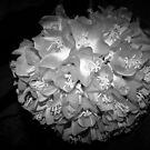 Hydrangea bloom in silver gray by ♥⊱ B. Randi Bailey