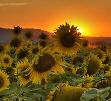 Sunflower Sun Rays by Mark Kiver