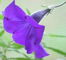 A Purple Petunia on the Porch by SummerJade