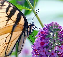 Beautiful Butterfly on Butterfly Bush by Righteous Zombie Photography