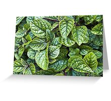 Nico Plectranthus Greeting Card