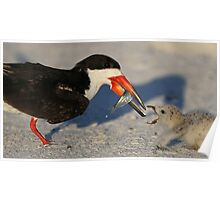 Black Skimmer 1 :Fish from mom to chick! Poster