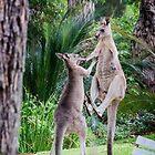Male Kangaroos Fighting by pcbermagui