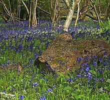 Bluebell Wood by RedHillDigital