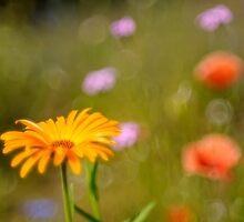 soft focus marigold by stresskiller