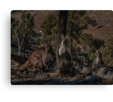 Old Man Wallaby and his Family Canvas Print